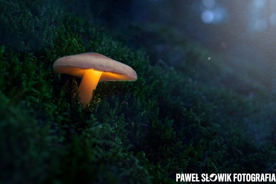 Świetlisty grzybek Świecący grzyb