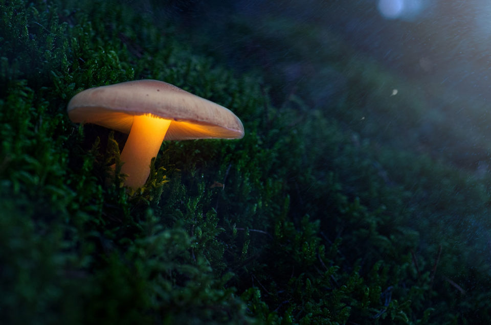 świecący grzyb Fotografia leśna